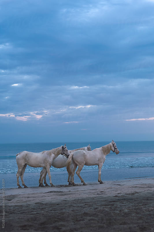 white horses at sunset by RG&B Images for Stocksy United