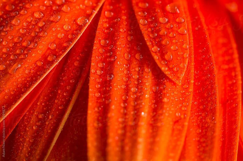 Close-up of orange gerbera daisy petals by Adam Nixon for Stocksy United