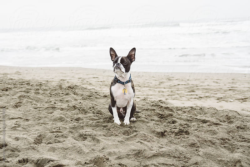 Bruce the Boston Pug in San Francisco by Shannon Aston for Stocksy United