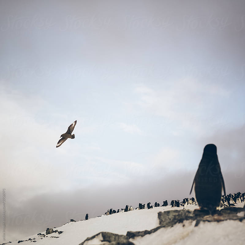 Chinstrap penguins walking in snow in Antarticta by yuanyuan xie for Stocksy United
