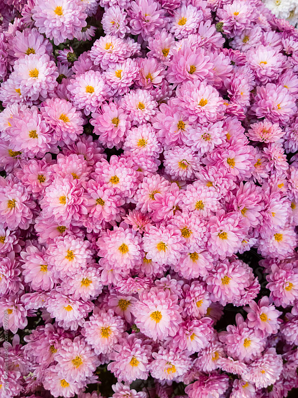 Pink Chrysanthemums  by Pixel Stories for Stocksy United