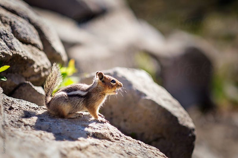 Golden-mantled ground squirrel on Mt Rainier in Washington State by Suprijono Suharjoto for Stocksy United