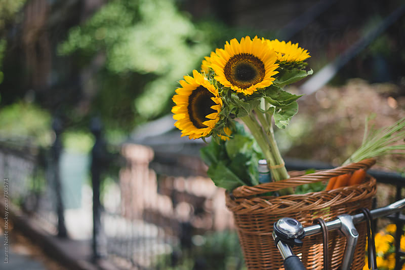 Sunflowers in a bike basket by Lauren Naefe for Stocksy United
