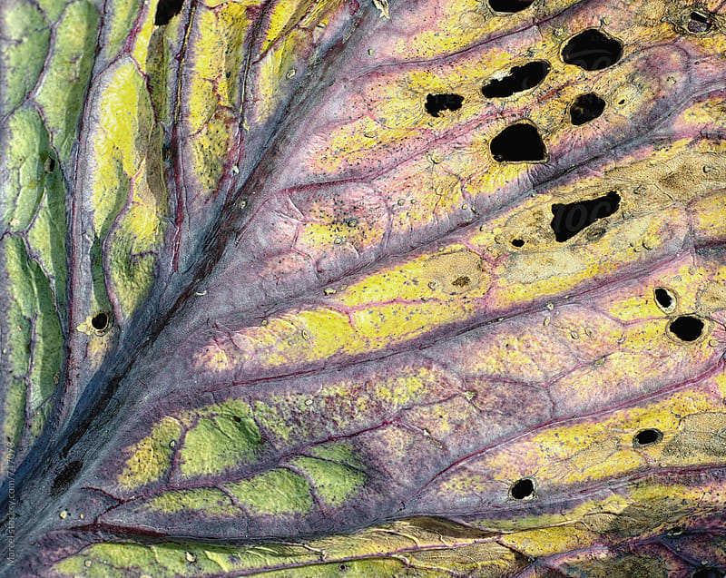 Old red cabbage leaf macro by Marcel for Stocksy United