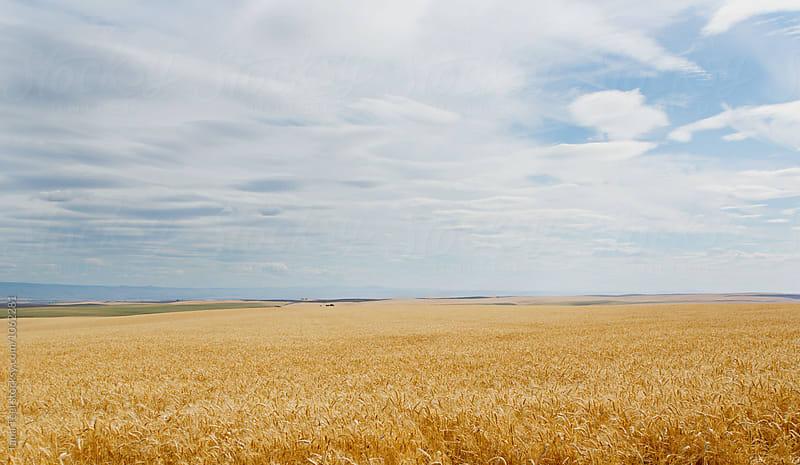 ripe wheat field by Tana Teel for Stocksy United