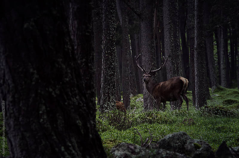 Wild Deer in forest by Neil Warburton for Stocksy United