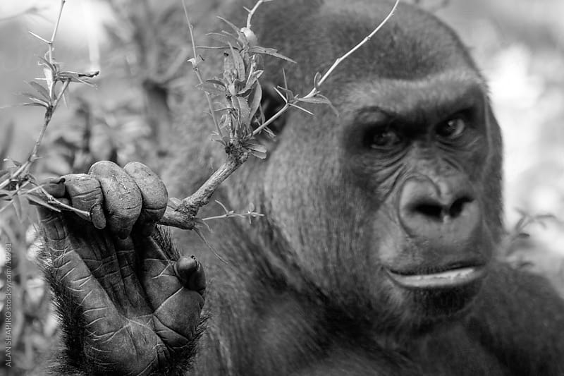 Lowland Gorilla trying to be intimidating by alan shapiro for Stocksy United