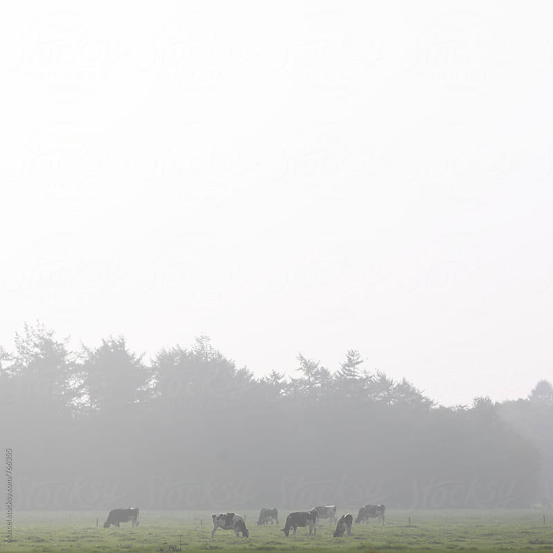 Grazing cows on a misty day by Marcel for Stocksy United