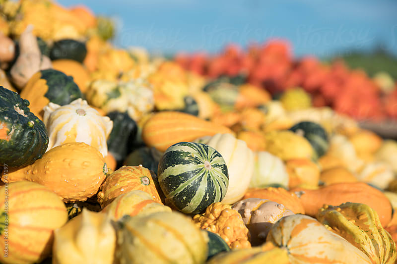 Big pile of colorful pumpkins by Robert Kohlhuber for Stocksy United
