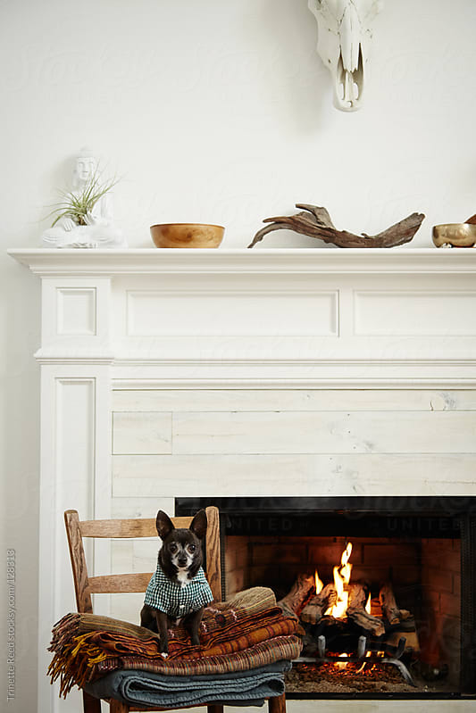 Portrait of Chihuahua dog in front of fireplace in living room by Trinette Reed for Stocksy United