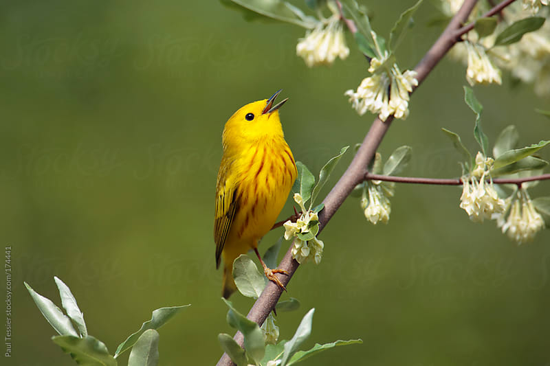 Singing Yellow Warbler by Paul Tessier for Stocksy United