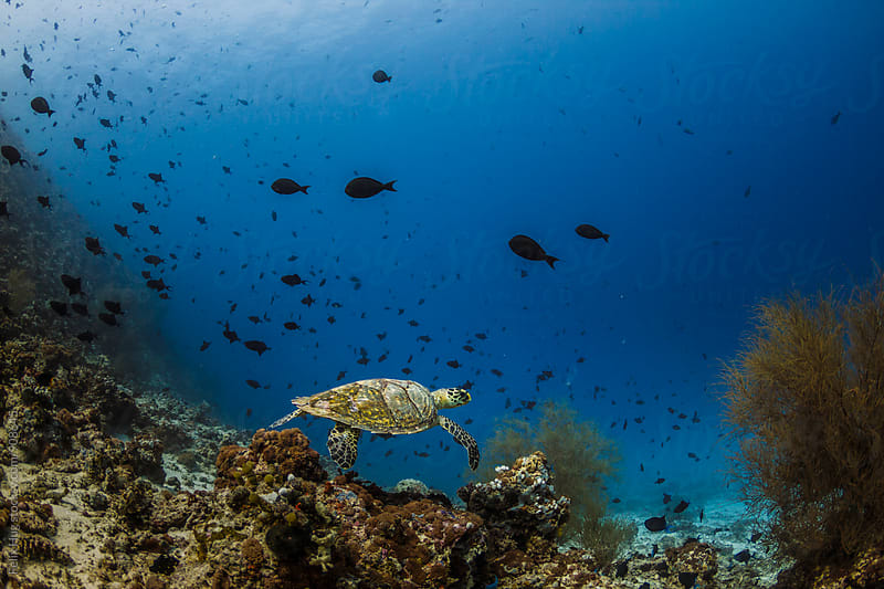 Sea Turtle Maldives by Felix Hug for Stocksy United