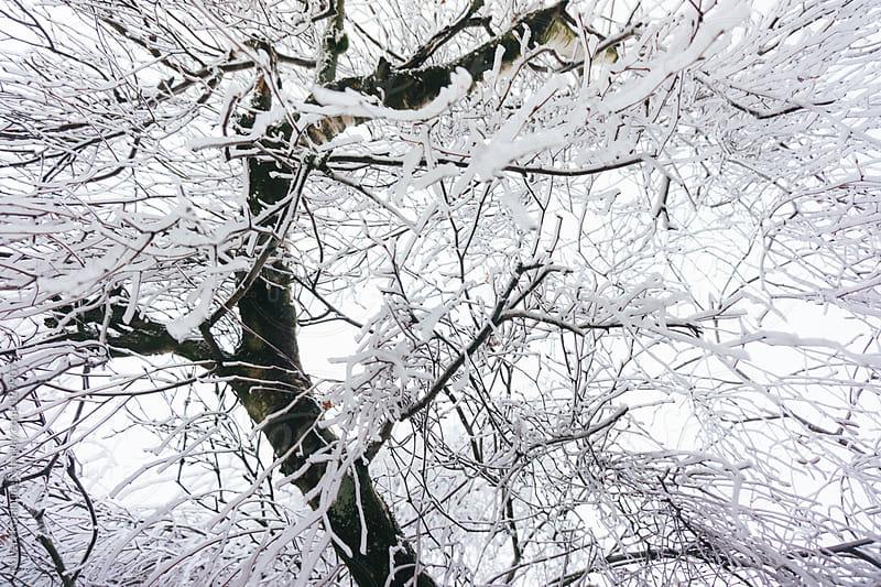 Winter tree by Robert Kohlhuber for Stocksy United