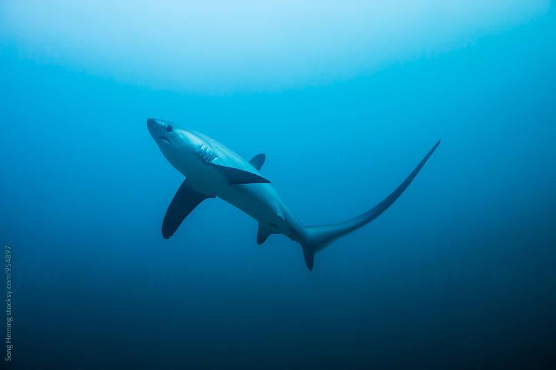 thresher shark by Song Heming for Stocksy United