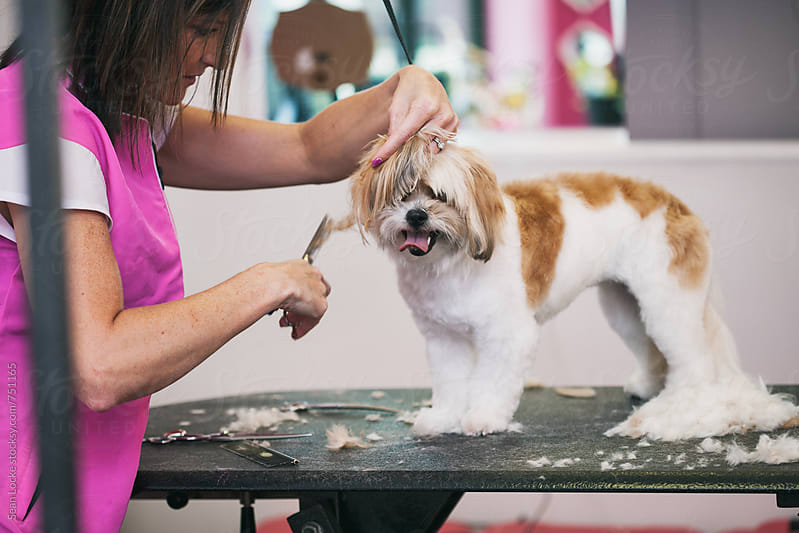 Groomer: Hair Lies About Table As Peekapoo Gets Trimmed by Sean Locke for Stocksy United