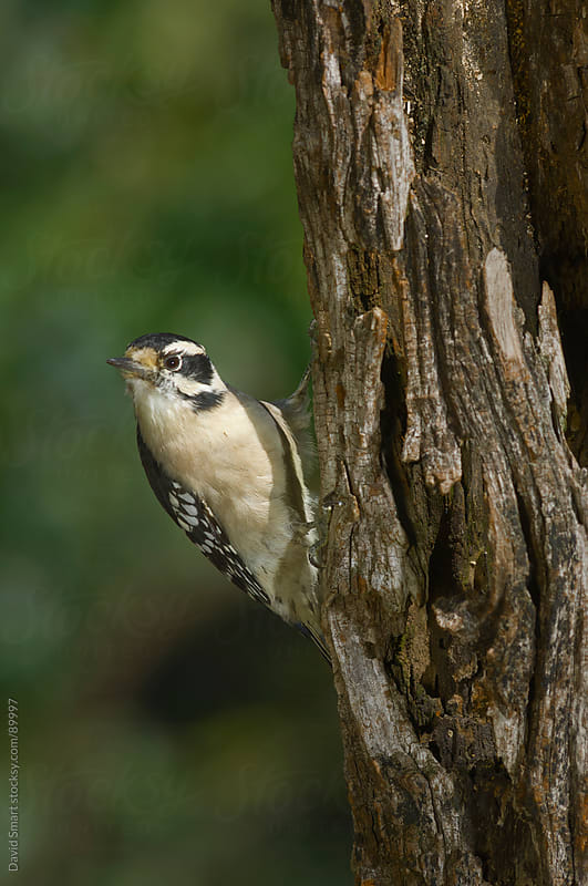 Downy Woodpecker on the trunk of a dead tree  by David Smart for Stocksy United