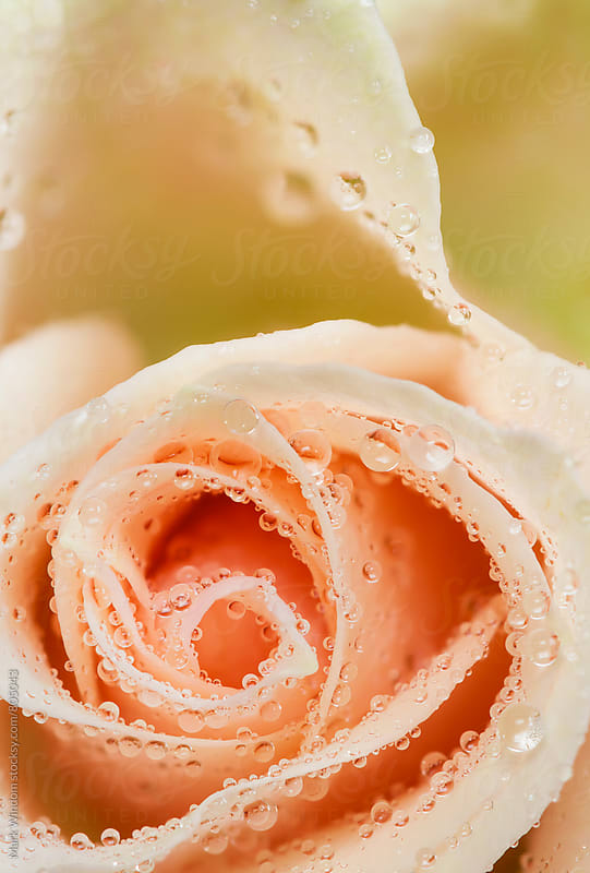 Rose and Raindrops, closeup by Mark Windom for Stocksy United