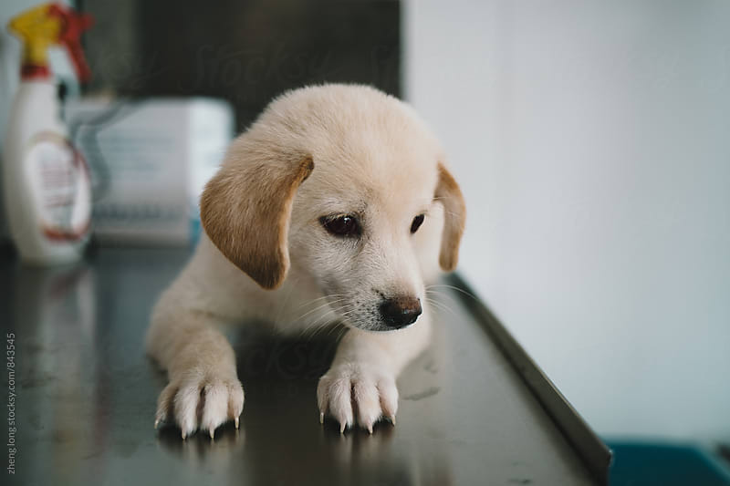 Sick puppy in pet hospital by zheng long for Stocksy United