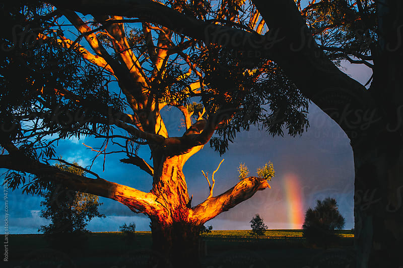 Rainbow through Eucalyptus trees, Australia by Robert Lang for Stocksy United