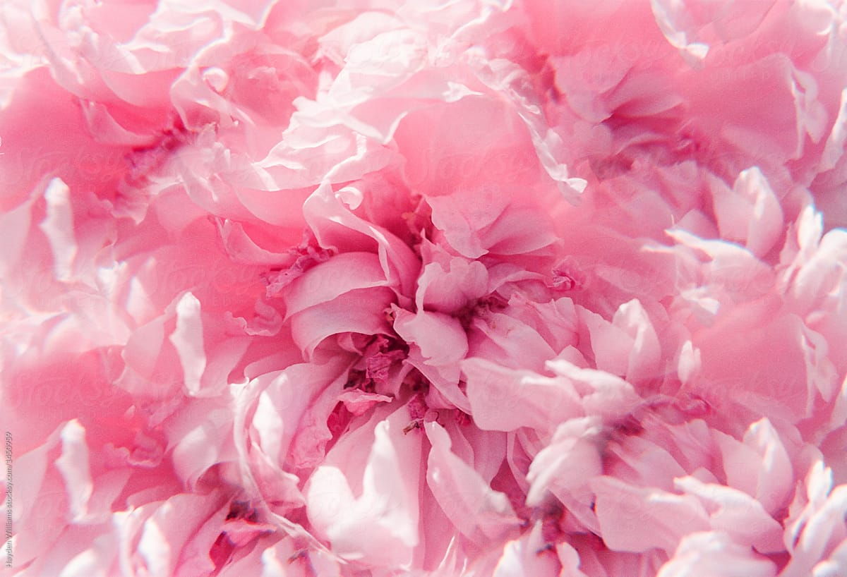 Dreamy Close Up Shot Of Pink Rose Petals Stocksy United