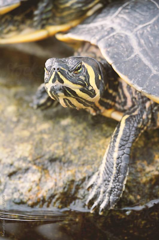 Grumpy turtle by Marcel for Stocksy United