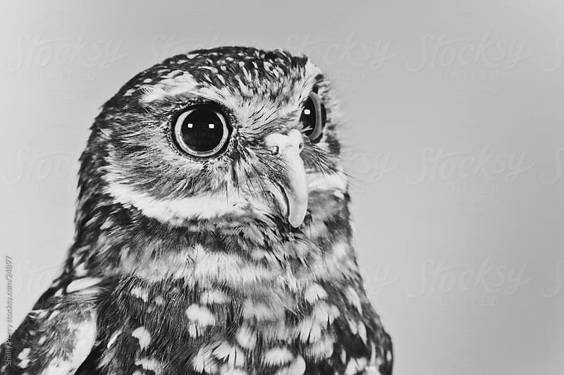 Portrait of an Owl in Black and White by Shelly Perry for Stocksy United