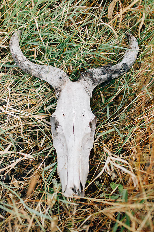 animal skull in grass by Cameron Zegers for Stocksy United