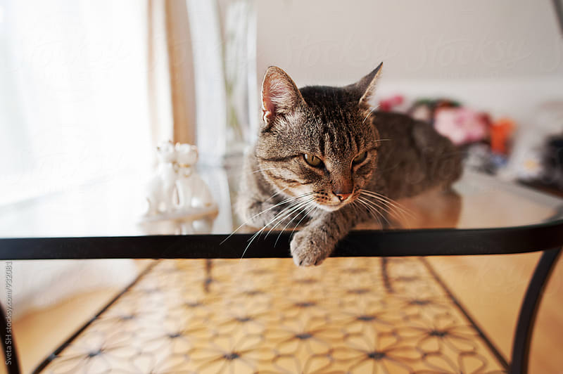 Cat on a glass table by Sveta SH for Stocksy United