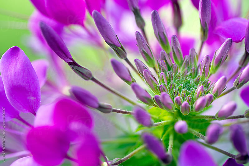 Cleome by alan shapiro for Stocksy United