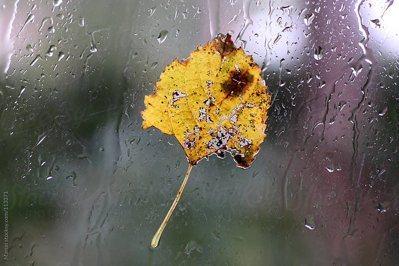 Autumn leaf on a wet window by Marcel for Stocksy United
