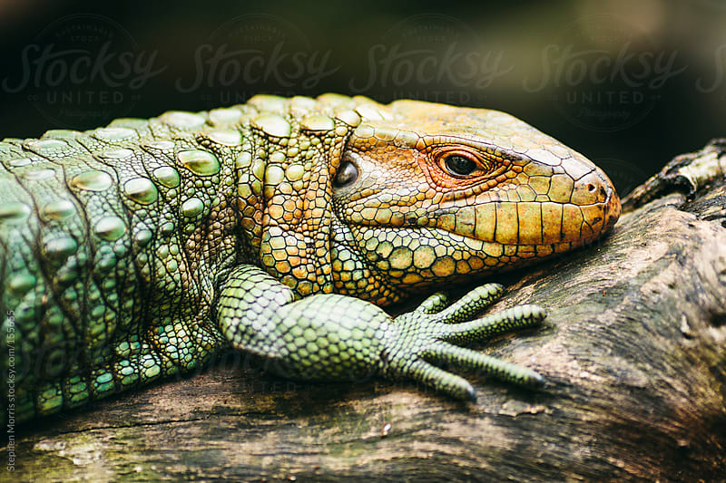 Caiman Lizard by Stephen Morris for Stocksy United