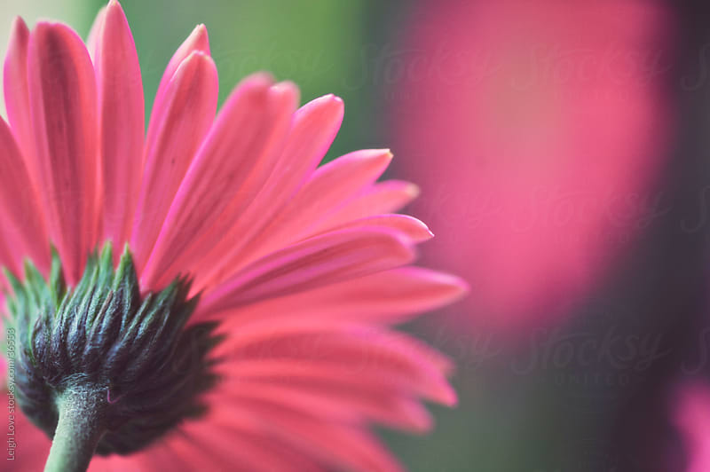 Pink Gerber Daisy Reflected by Leigh Love for Stocksy United