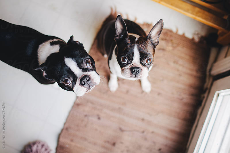 two boston terriers wondering if you love them by Sarah Lalone for Stocksy United