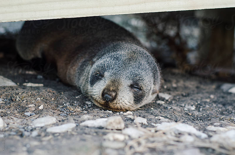 Baby New Zealand fur seal sleeping under a walkway by Dominique Chapman for Stocksy United