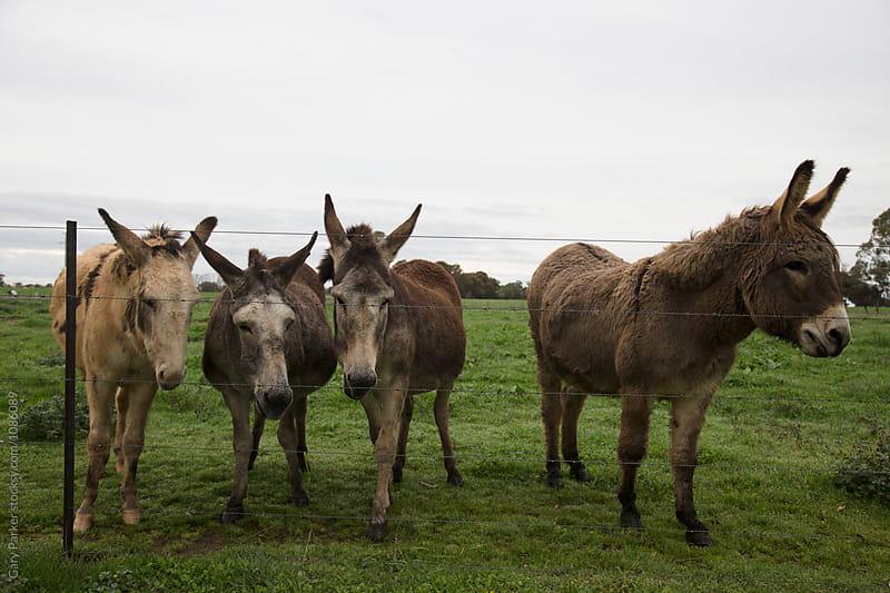 Donkeys by Gary Parker for Stocksy United