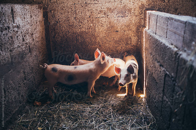 three baby pigs by Lydia Trappenberg for Stocksy United