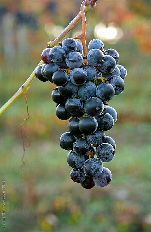 Blue ripe Grapes on vine  by Melanie Kintz for Stocksy United