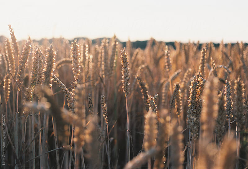 Detail of Wheat in a field at sunset. Norfolk, UK. by Liam Grant for Stocksy United