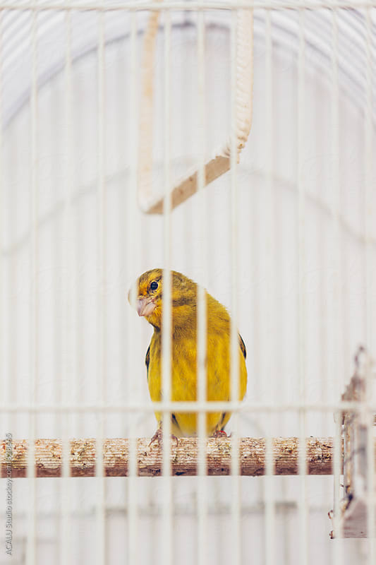 Little yellow bird in a cage by ACALU Studio for Stocksy United