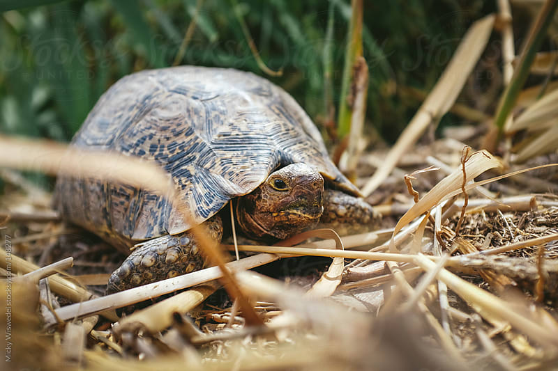 Western Cape Leopard Tortoise by Micky Wiswedel for Stocksy United