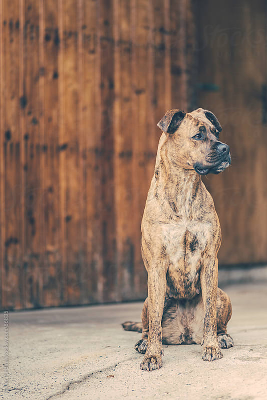 Beautiful brown dog sitting in front of wooden doors. by Javier Pardina for Stocksy United