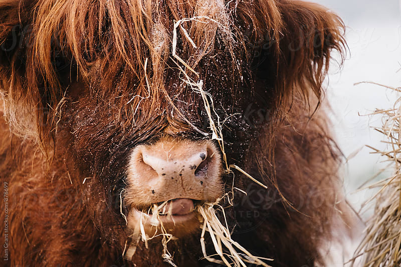 Highland cow feeding on straw on a frosty winters morning. Norfolk, UK. by Liam Grant for Stocksy United