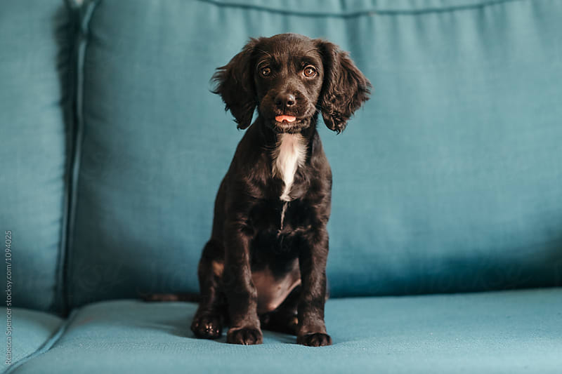 Cute puppy sticks her tongue out at the camera by Rebecca Spencer for Stocksy United