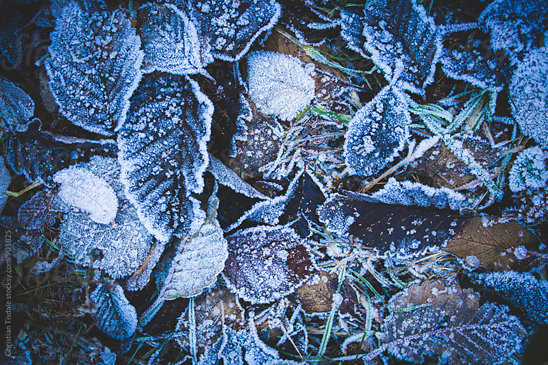Thick frost on dead leaves on the ground by Christian Tisdale for Stocksy United