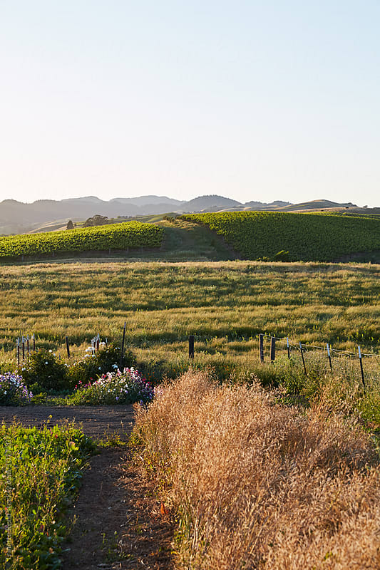 Garden, and vineyards in Napa Valley, California  by Trinette Reed for Stocksy United