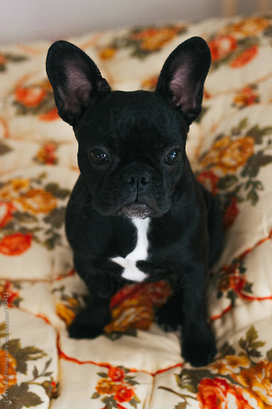 Cute french bulldog on the blancket  by Evil Pixels  Photography for Stocksy United