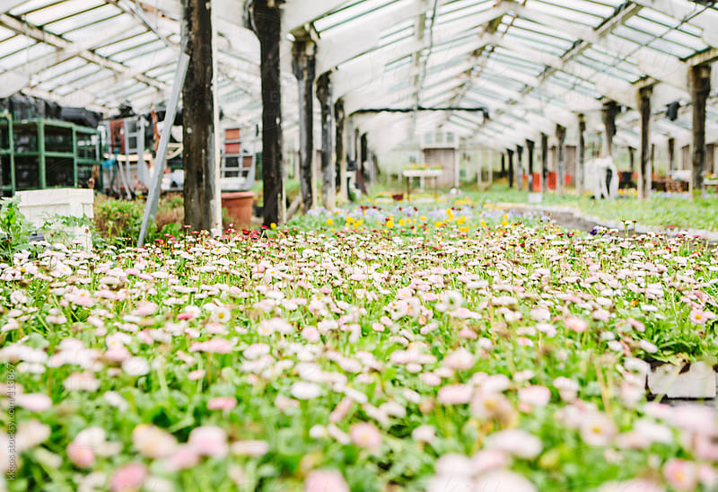 flowers in a greenhouse by kkgas for Stocksy United
