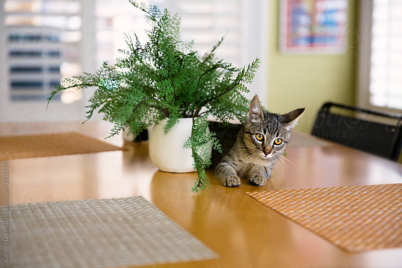Kitten laying on the kitchen table by Carolyn Lagattuta for Stocksy United