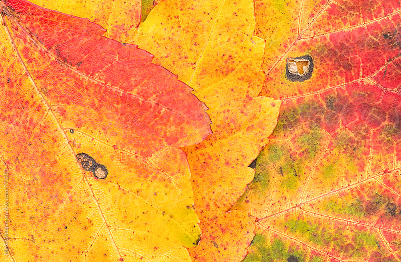 Scarlet Maple leaves in Autumn, closeup by Mark Windom for Stocksy United