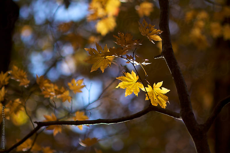 Autumn Leaves Hanging off of a Tree by Jason Hill for Stocksy United